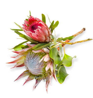 Two protea flowers